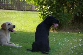 Foto 2 Labrador