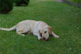 Foto 6 Labrador