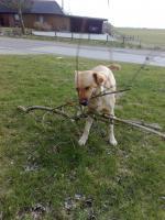 Foto 4 Labrador-Deckrüde gesucht !