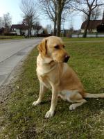 Foto 5 Labrador-Deckrüde gesucht !