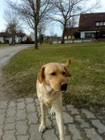 Foto 6 Labrador-Deckrüde gesucht !