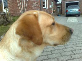 Foto 8 Labrador-Deckrüde gesucht !