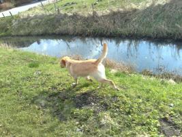 Foto 10 Labrador-Deckrüde gesucht !