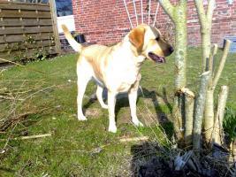 Foto 11 Labrador-Deckrüde gesucht !