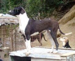 Labrador-Doggen-Mix Apache sucht ...