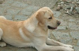 Foto 2 Labrador Jungrüde