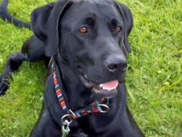 Labrador-Mischlich Tom