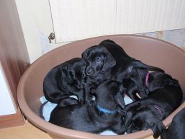 Foto 3 Labrador-Mischlingswelpen