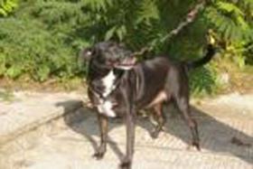 Labrador-Mix Hündin, c.a. 4 Jahre jung, ''Bella''