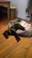 Foto 4 Labrador Mix Welpe
