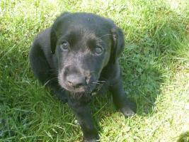 Foto 2 Labrador-Mix-Welpen suchen liebe Familie!!!