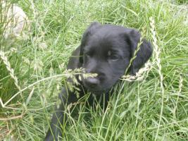 Foto 4 Labrador-Mix-Welpen suchen liebe Familie!!!