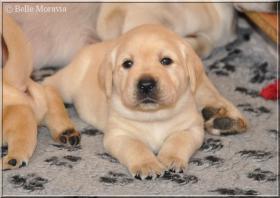 Labrador Reriever mit Stammbaum FCI - gelbe Welpen - Hündinnen