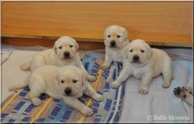 Foto 2 Labrador Reriever mit Stammbaum FCI - gelbe Welpen - Hündinnen