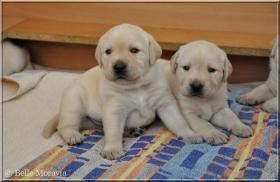 Foto 3 Labrador Reriever mit Stammbaum FCI - gelbe Welpen - Hündinnen