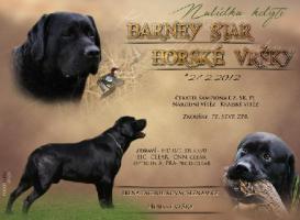 Labrador Retriever (Barney) schwarz Rüde zum Decken