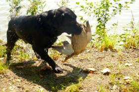 Foto 2 Labrador Retriever (Barney) schwarz Rüde zum Decken