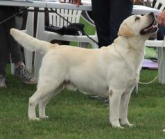Foto 3 Labrador Retriever zum Decken