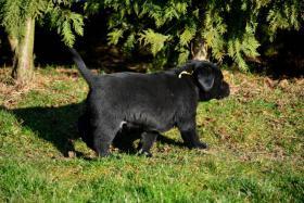 Foto 3 Labrador Retriever Welpe (Rüde)
