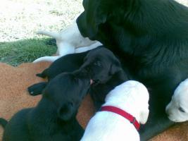 Foto 2 Labrador Retriever Welpen