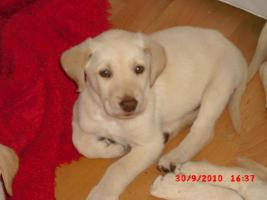Foto 3 Labrador Retriever Welpen