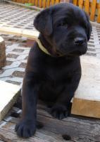 Foto 6 Labrador Retriever Welpen