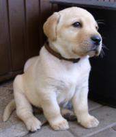 Foto 10 Labrador Retriever Welpen