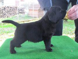 Foto 2 Labrador Retriever Welpen zu verkaufen