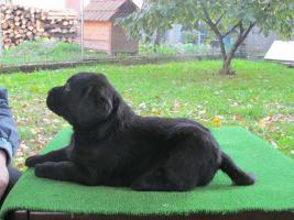Foto 4 Labrador Retriever Welpen zu verkaufen