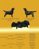Foto 6 Labrador Retriever Welpen zu verkaufen