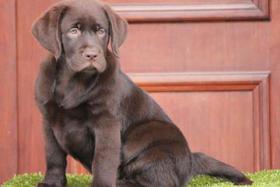 Labrador Retriever Welpen zu verkaufen