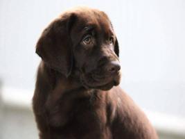 Foto 3 Labrador Retriever Welpen zu verkaufen