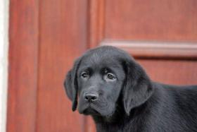 Foto 5 Labrador Retriever Welpen zu verkaufen