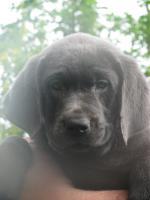 Foto 2 Labrador Retriever Welpen, Silber