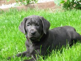 Foto 7 Labrador Retriever Welpen, Silber