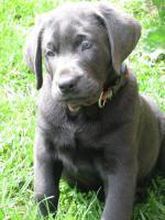 Foto 8 Labrador Retriever Welpen, Silber