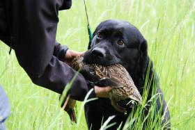 Labrador Retriever schwarz Rüde zum Decken