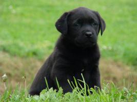 Labrador Retriever wunderschöne Welpen