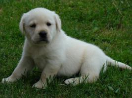 Foto 2 Labrador Retriever wunderschöne Welpen