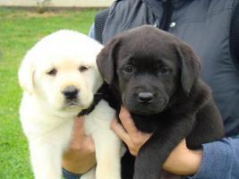 Foto 3 Labrador Retriever wunderschöne Welpen