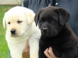 Foto 4 Labrador Retriever wunderschöne Welpen