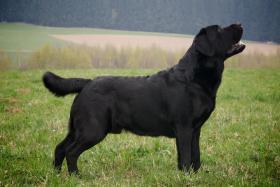Foto 2 Labrador Retriever - dominant schwarze Welpen mit FCI Pedigree