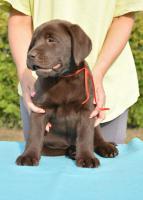 Foto 2 Labrador Retriever - dunkel schocko Hündin mit FCI Pedigree