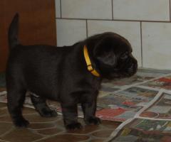 Foto 3 Labrador Retriever, schocko Welpen mit Papiere