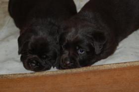 Foto 4 Labrador Retriever, schocko Welpen mit Papiere