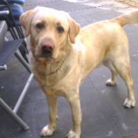Labrador Ruede mit Papiere zu verkaufen