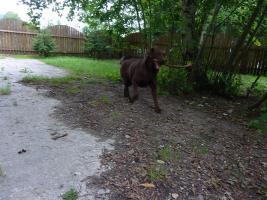 Foto 2 Labrador Rüde schokobraun 2,5 Jahre mit Zuchtzulassung