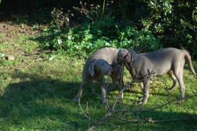 Labrador in Silber abzugeben