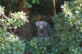 Foto 3 Labrador in Silber abzugeben