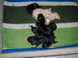 Labrador-Weimaraner Mix Welpen